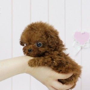 Yolo Tiny Teacup Yorkie Tea Cup Poodle Teacup Poodle Full Grown