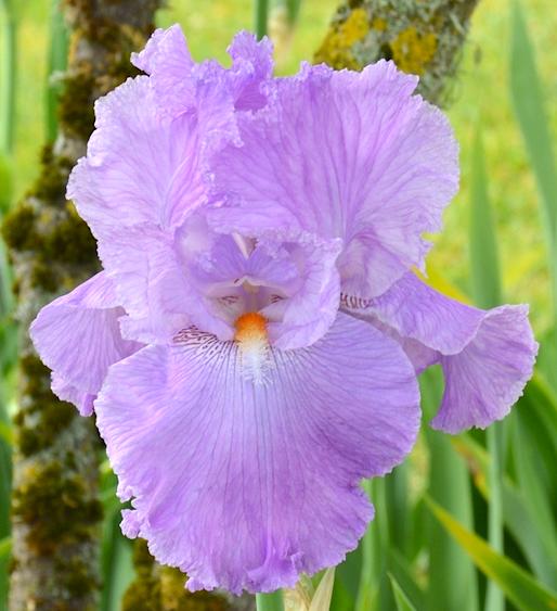 Tb Iris Germanica Italic Light Schreiner 2012 Iris Flowers Rainbow Garden Growing Irises