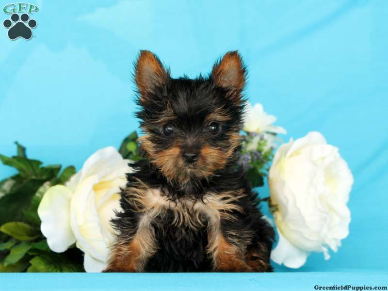 Yorkshire Terrier Puppies For Sale In Pa Yorkshire Terrier