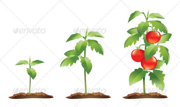 Tomato Plant Growth Stages Plant Growth Plants Tomato Plants