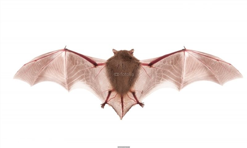 Bat on the white background poster getting rid of bats