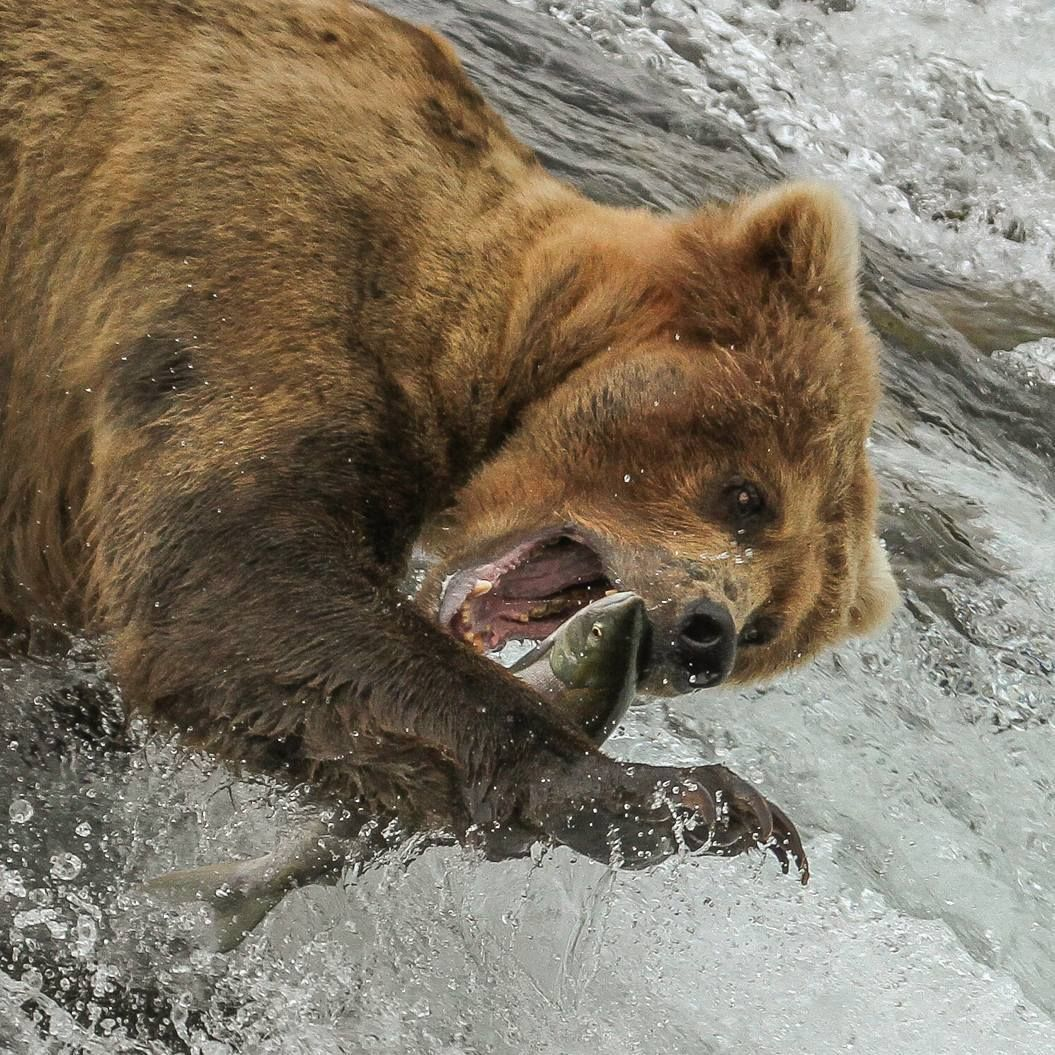 Bead Nose Pulls In Another Salmon Wildlife
