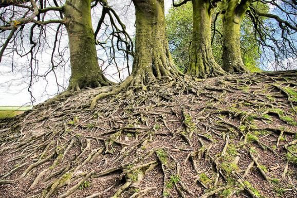 Scientists Peek Into The Hidden World Of Tree Roots. This article talks about some of the interesting and surprising findings in the world of trees and their roots! #science #technology #nature  (KUOW News and Information)