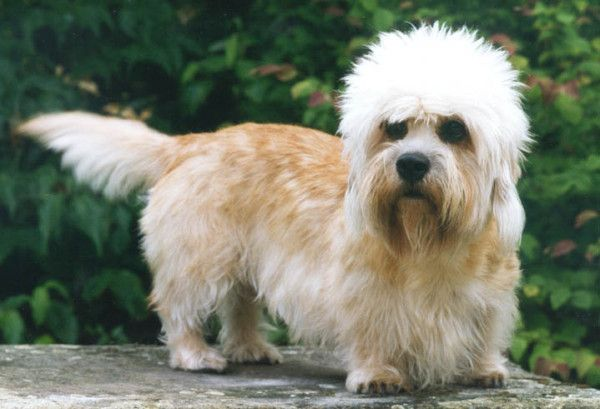 11 More Dog Breeds You Ve Probably Never Heard Of Dandie Dinmont Terrier Dandie Dinmont Terrier