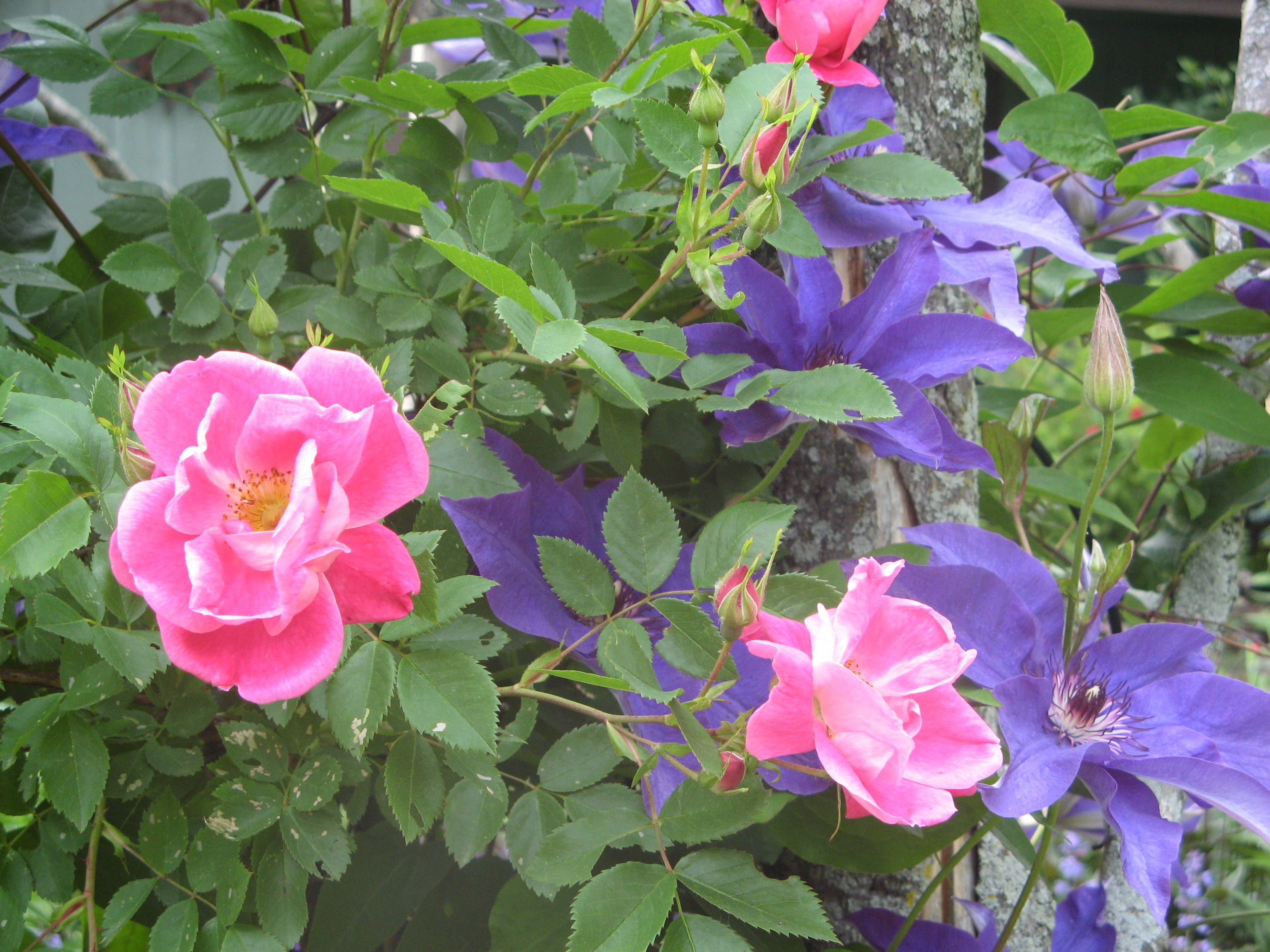 william baffin climbing rose with clematis the president. Black Bedroom Furniture Sets. Home Design Ideas