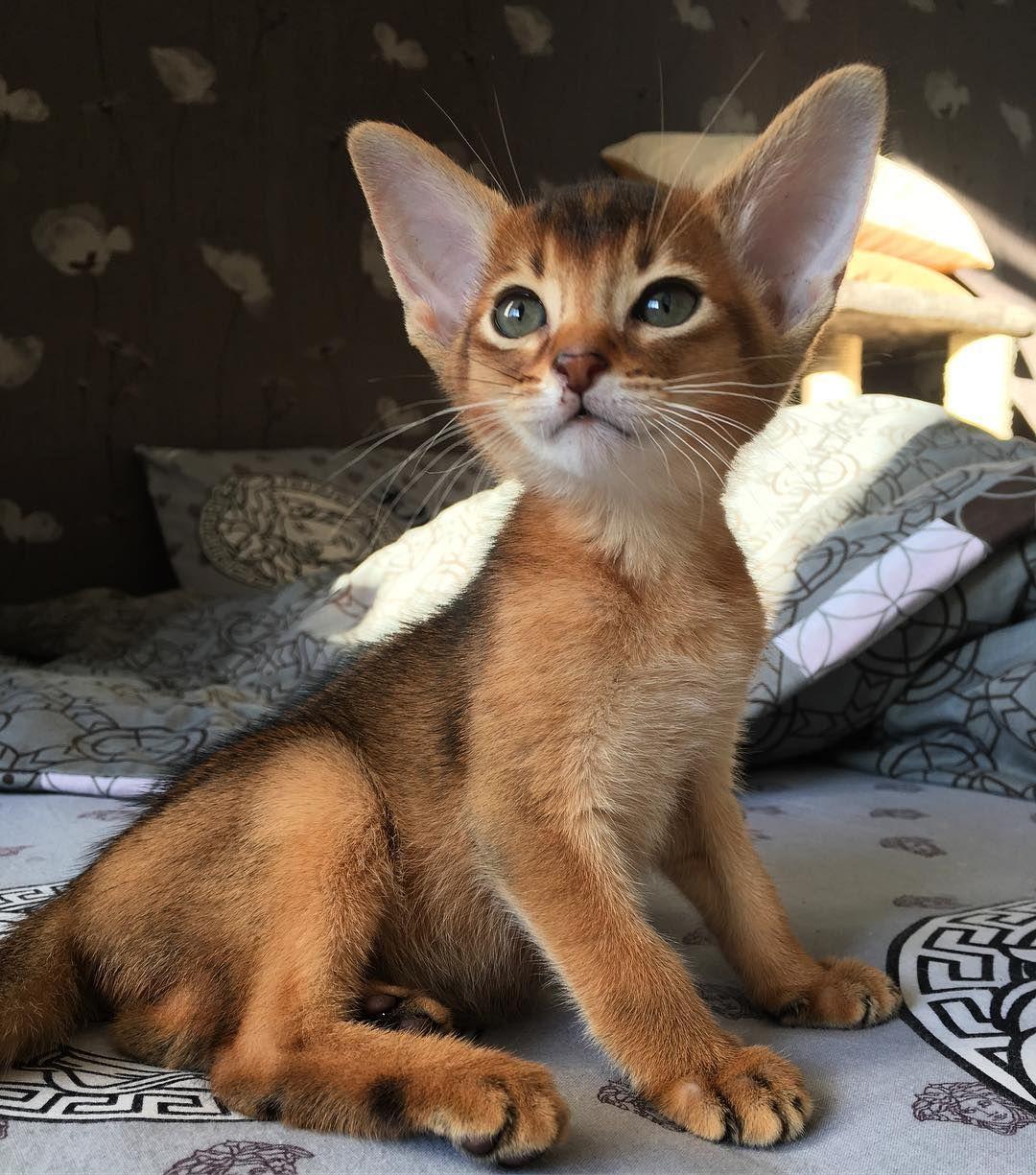 For sale  Boy ❤️ #chat #gatito #catstagram #кошка #aby