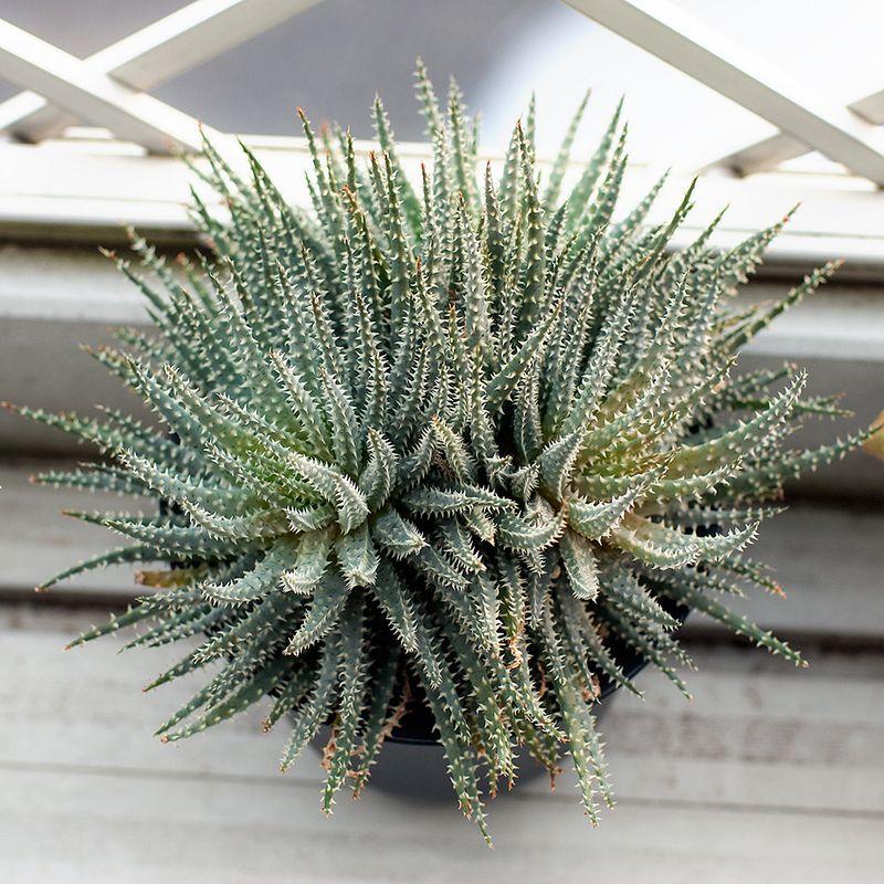Aloe florenceae