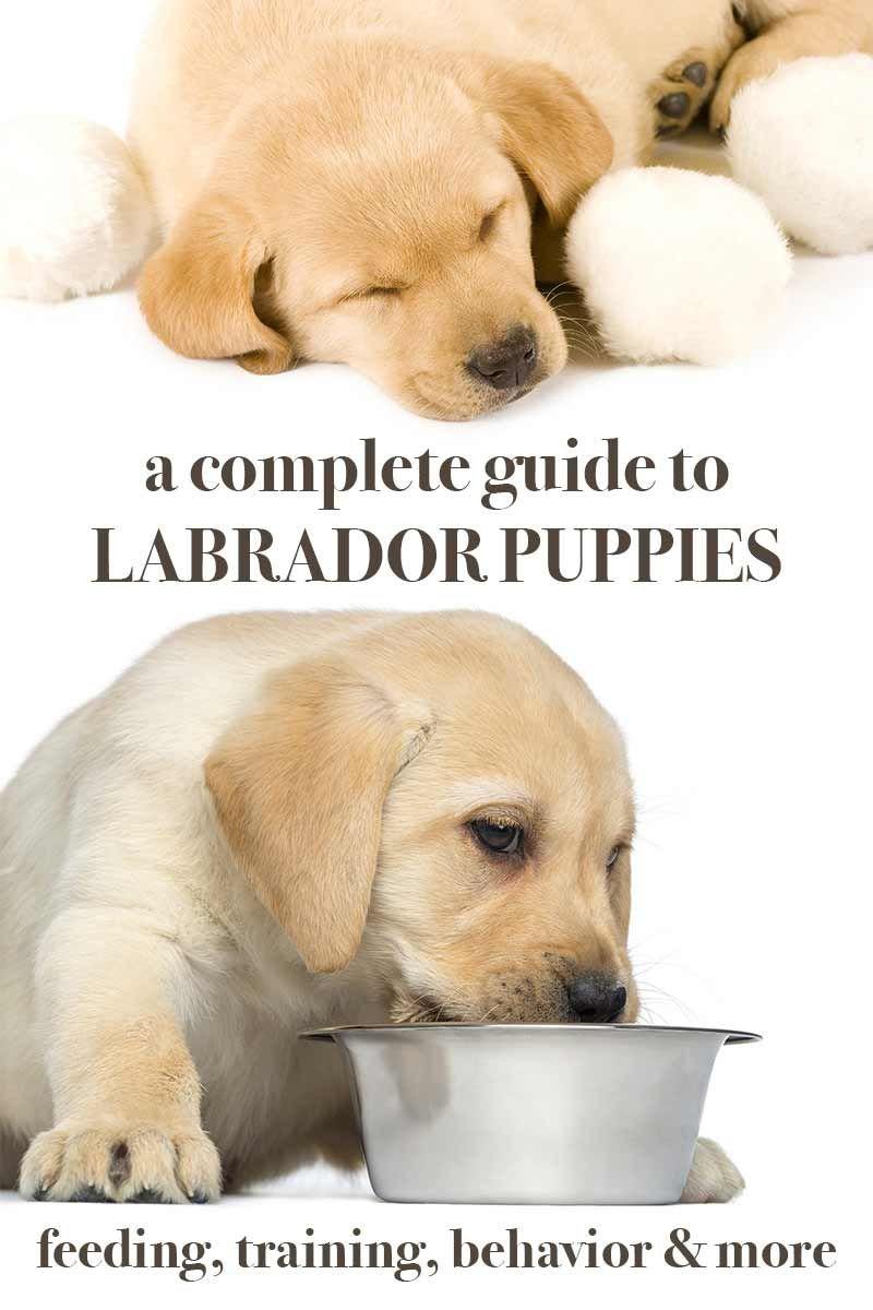 Labrador Puppies A Complete Guide Labrador Retriever Puppies