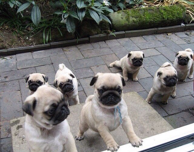 Pug puppy heaven! | Pug Puppies Forever❤️ | Cute pugs
