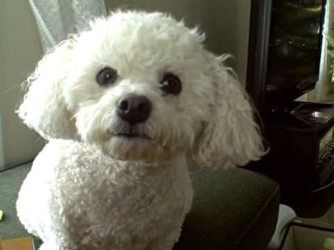 Bichon Frise Whining About Nothing Coconut I Found The Perfect