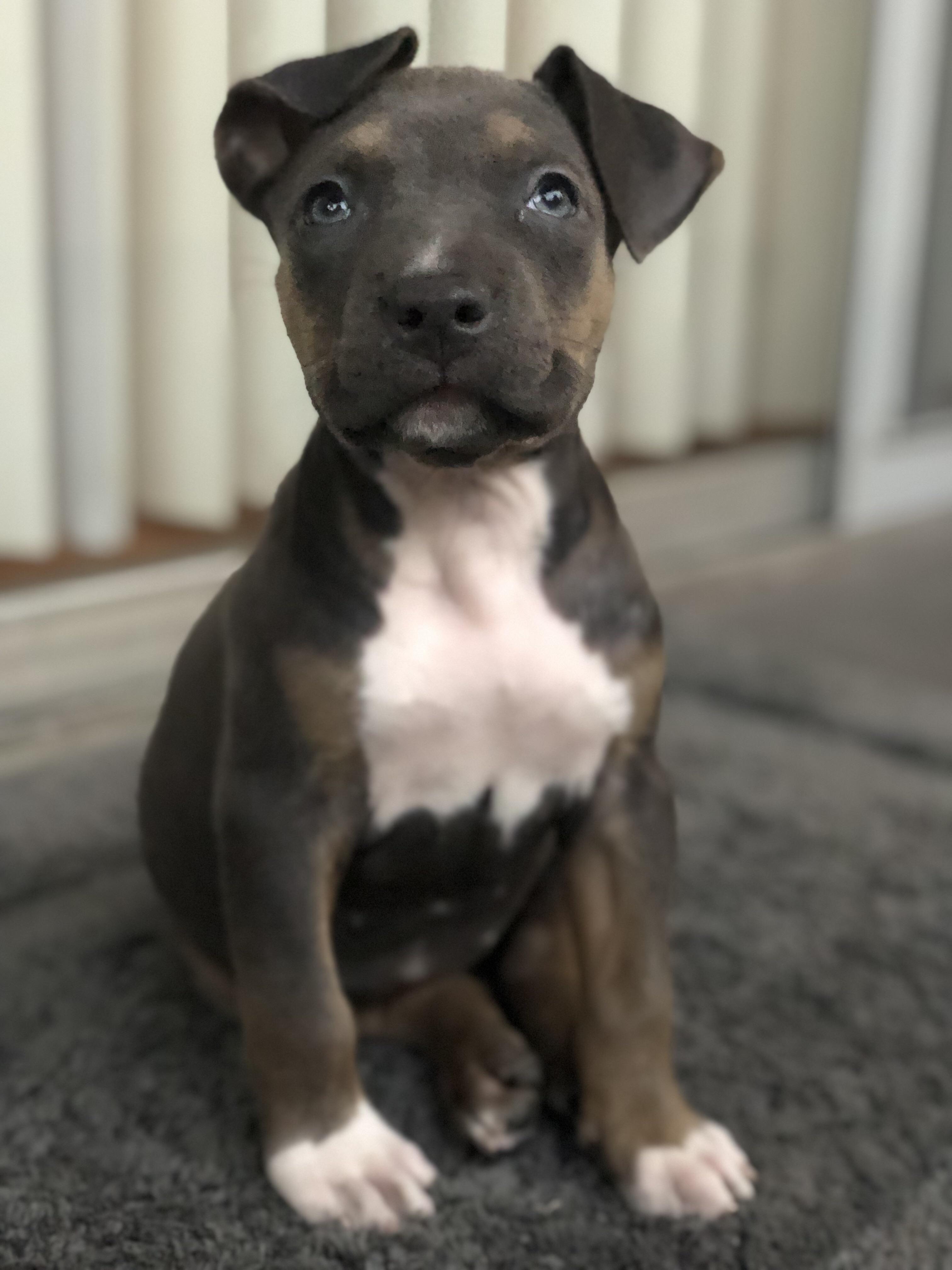 My Karma Baby 9 Week Old American Pitbull Puppy I Love My Baby