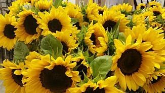 How to grow easy sunflowers and to manipulate the bloom size. Sunflowers are excellent cut flowers and for bees, birds and butterflies.