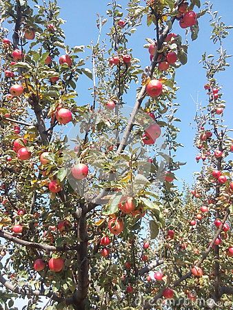 Red Apples On Tree In Kashmir Red Apple Apple Flowers Red Tree