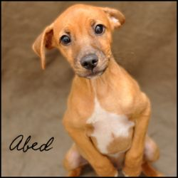 Abed Is An Adoptable Jack Russell Terrier Dog In Birmingham Al