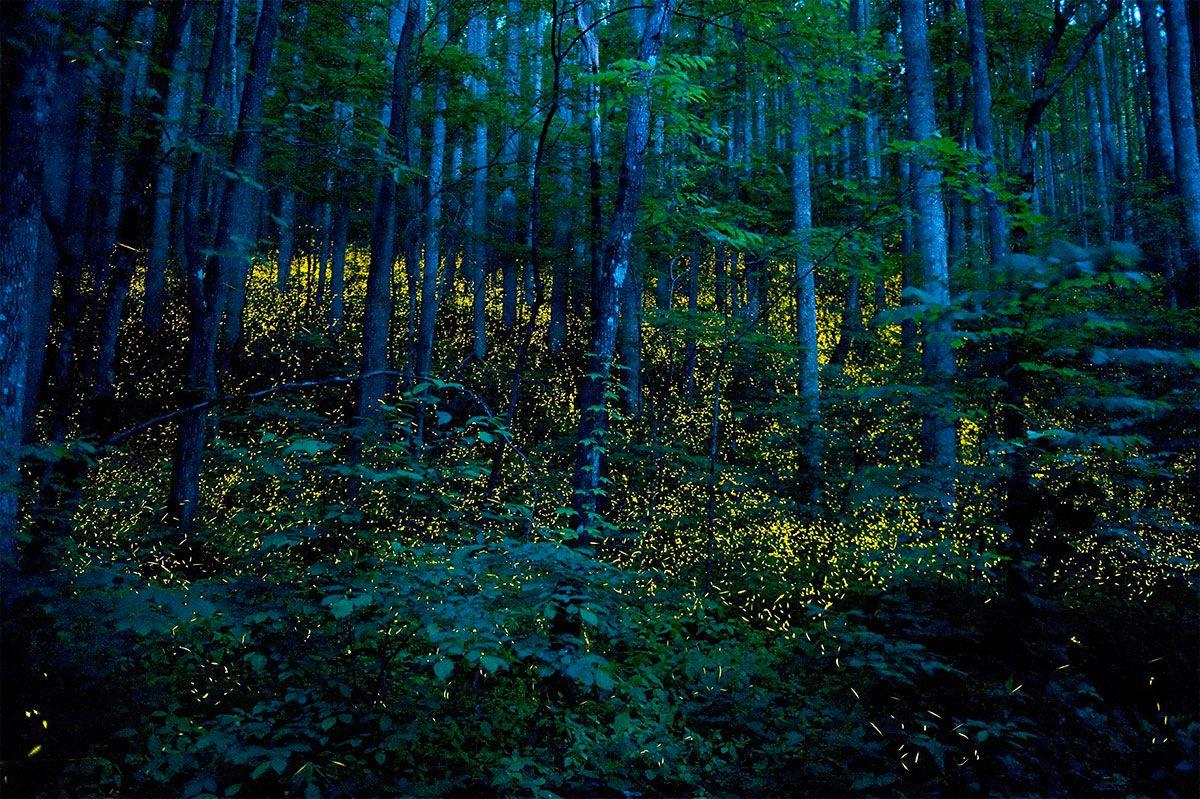 Vaga-lumes no Parque Nacional de Great Smoky Mountains -Foto: Katrien Vermeire