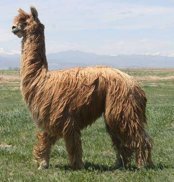 Suri Alpaca Suri And Huacaya Are Not Really Separate Breeds But In Fact Indicate Different Genetic Fleece Phenotypes When Cros Suri Alpaca Alpaca Alpaca Farm