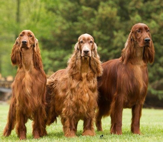 Irish Setter Trio Setter Irlandais Chiens Setter Irlandais Chien Setter