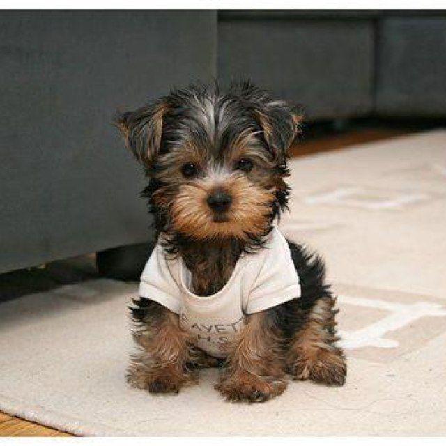 Pin By Jordyn Lloyd On Pets And Animals Yorkie Yorkie Puppy Cute Animals