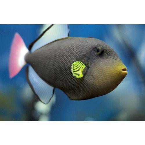 Pinktail Triggerfish Melichthys Vidua Marine Fish Underwater Creatures Tropical Fish