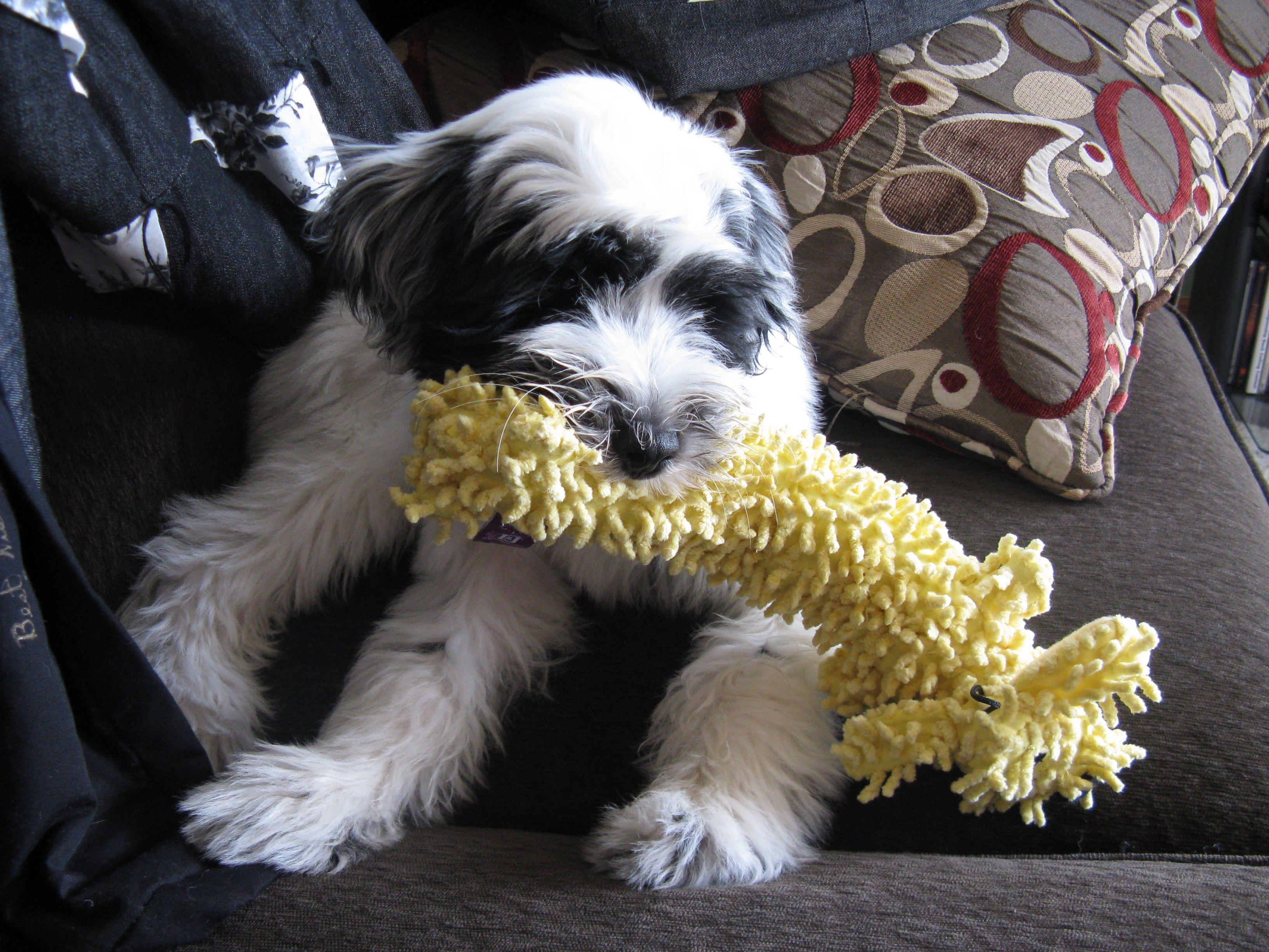 Play time! Tibetan Terrier puppy