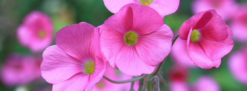 Floral Facebook Covers: Pink Flowers Facebook Cover For Timeline