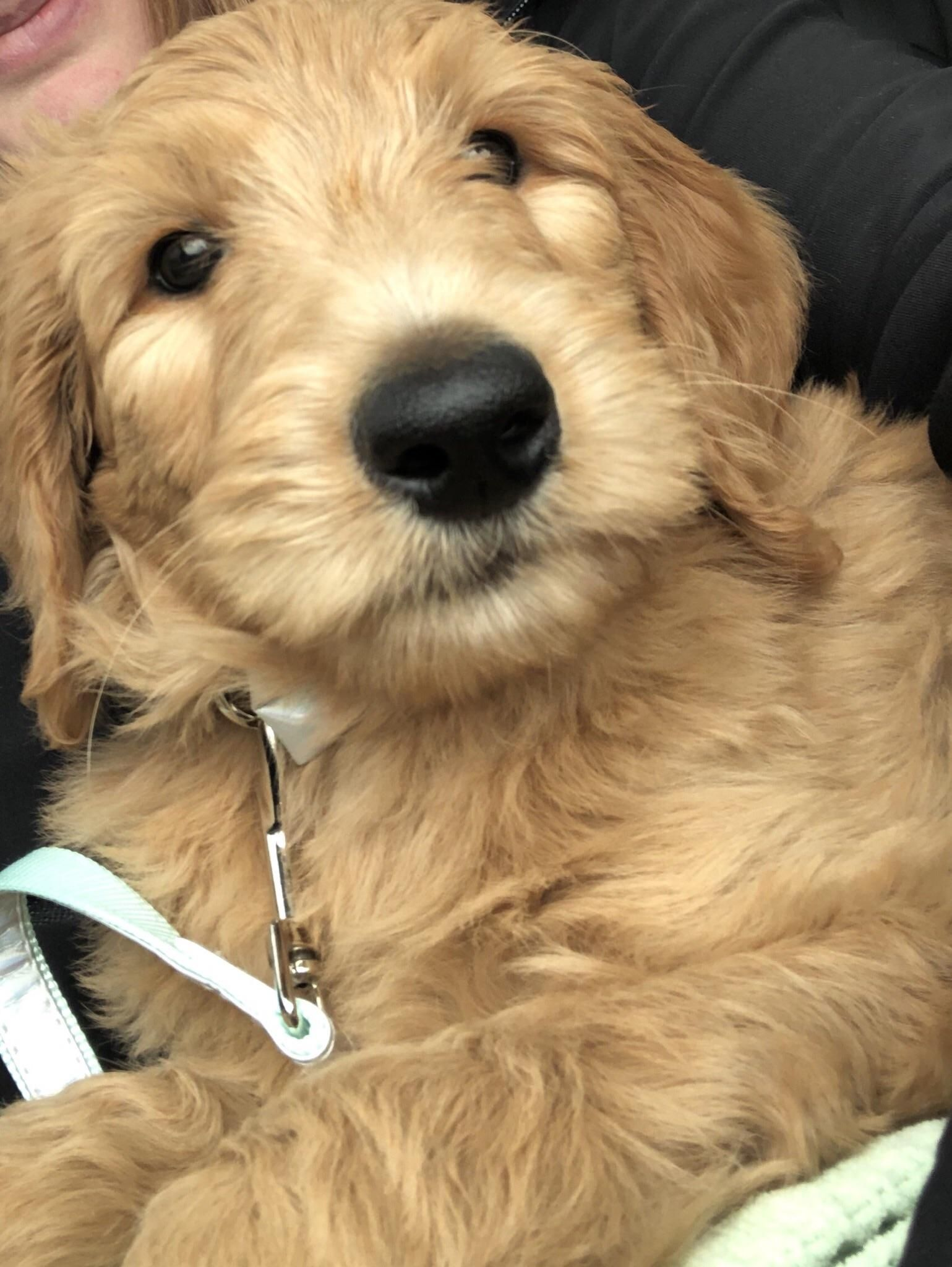 Reddit Meet Piper The Golden Doodle Puppy Aww Cute Animals Cats Dogs Goldendoodle Puppy Doodle Puppy Goldendoodle