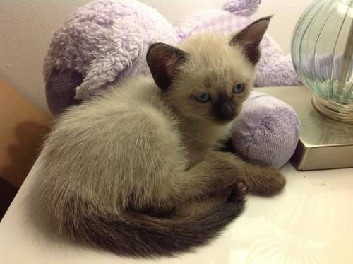 Traditional Seal Point Siamese Male Kittens Seal Point Siamese Kittens Kitten For Sale