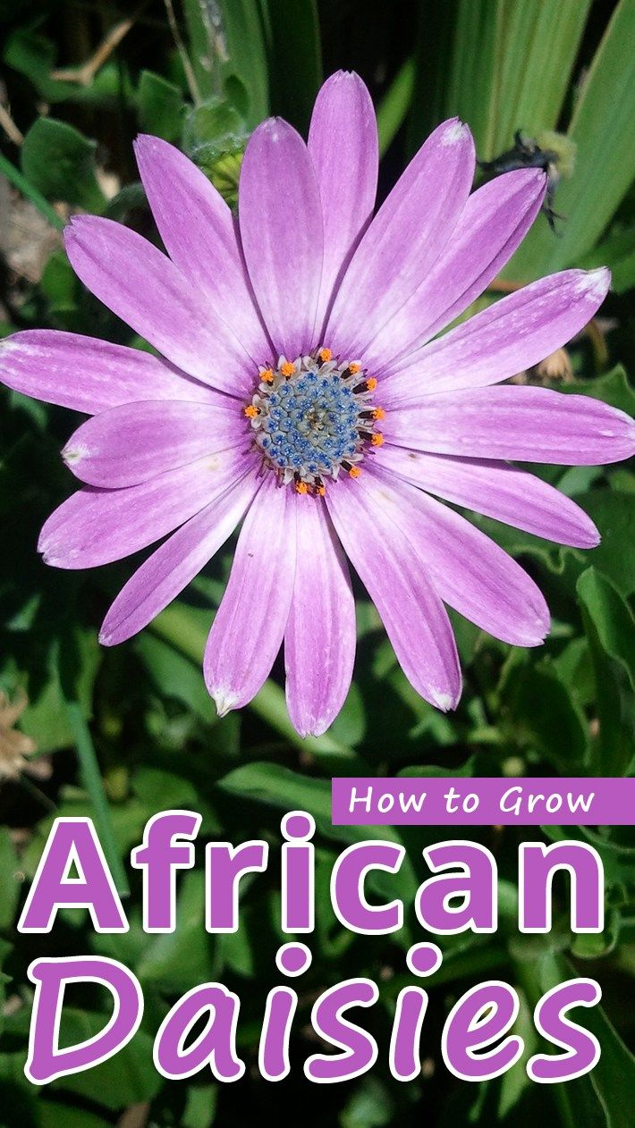 How to grow african daisies ornamental plants osteospermum or african daisies have flowers that look a very familiar yet totally foreign they made a big splash in display gardens in the 1990s izmirmasajfo