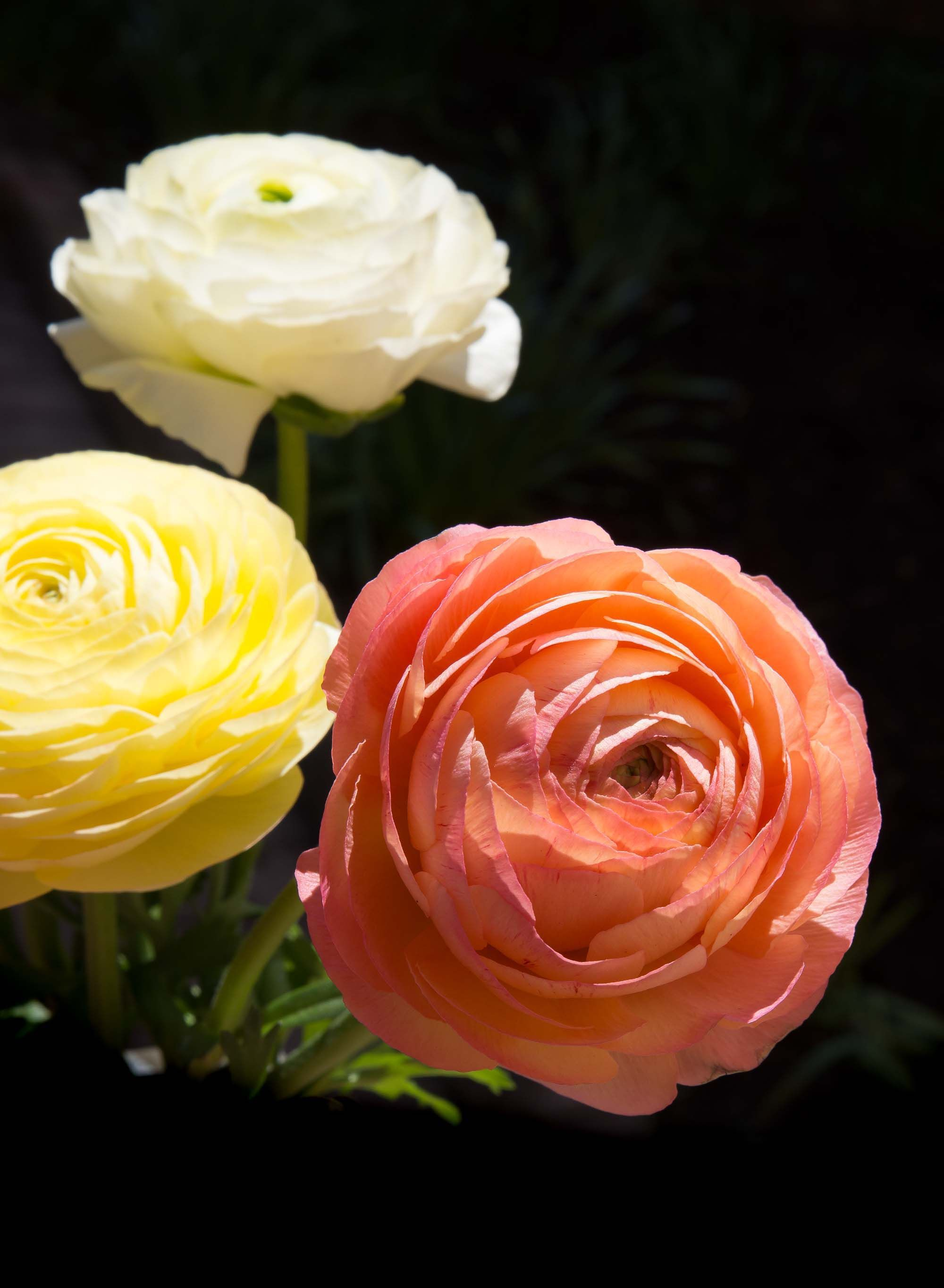 Ranunculus Asiaticus Mache Pastel Mix Is A Seed Grown Strain Of Persian Buttercup That Features Fully Double Oran Flowers Buttercup Flower Persian Buttercup