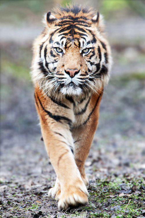 I Come Tigre De Bengala Tigre De Siberia Felinos