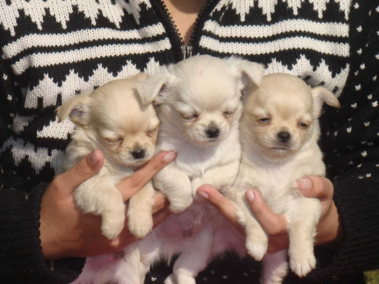 Chihuahua Puppies For Sale Price In India Mr N Mrs Pet Em 2020