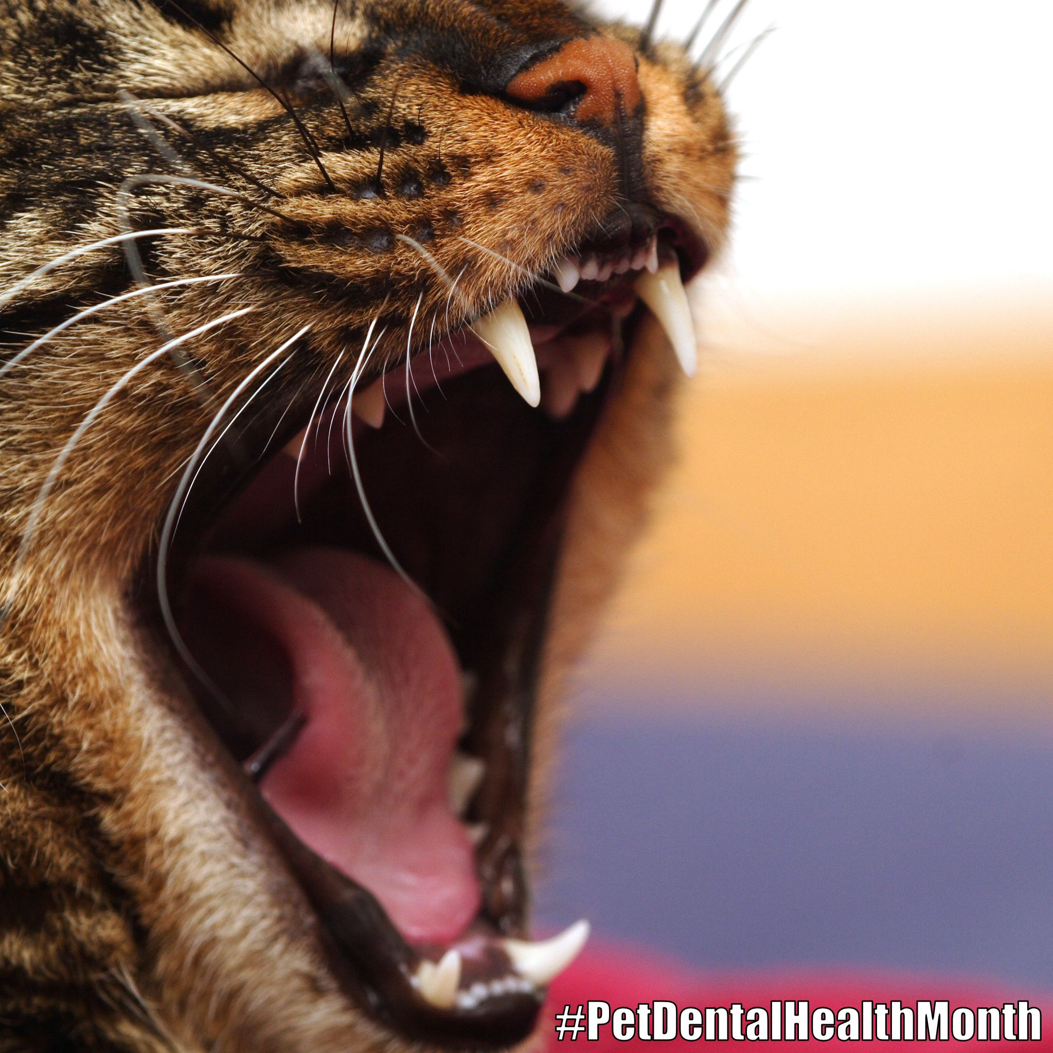 Brush your cat's teeth frequently—every day is ideal #CatHealth #DentalTips #PetDentalHealthMonth