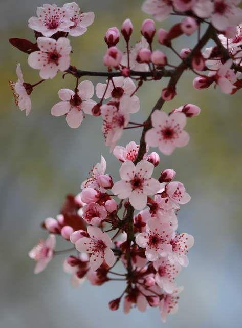 Cherry Blossoms Cherry Blossom Flowers Blossom Trees Pretty Flowers