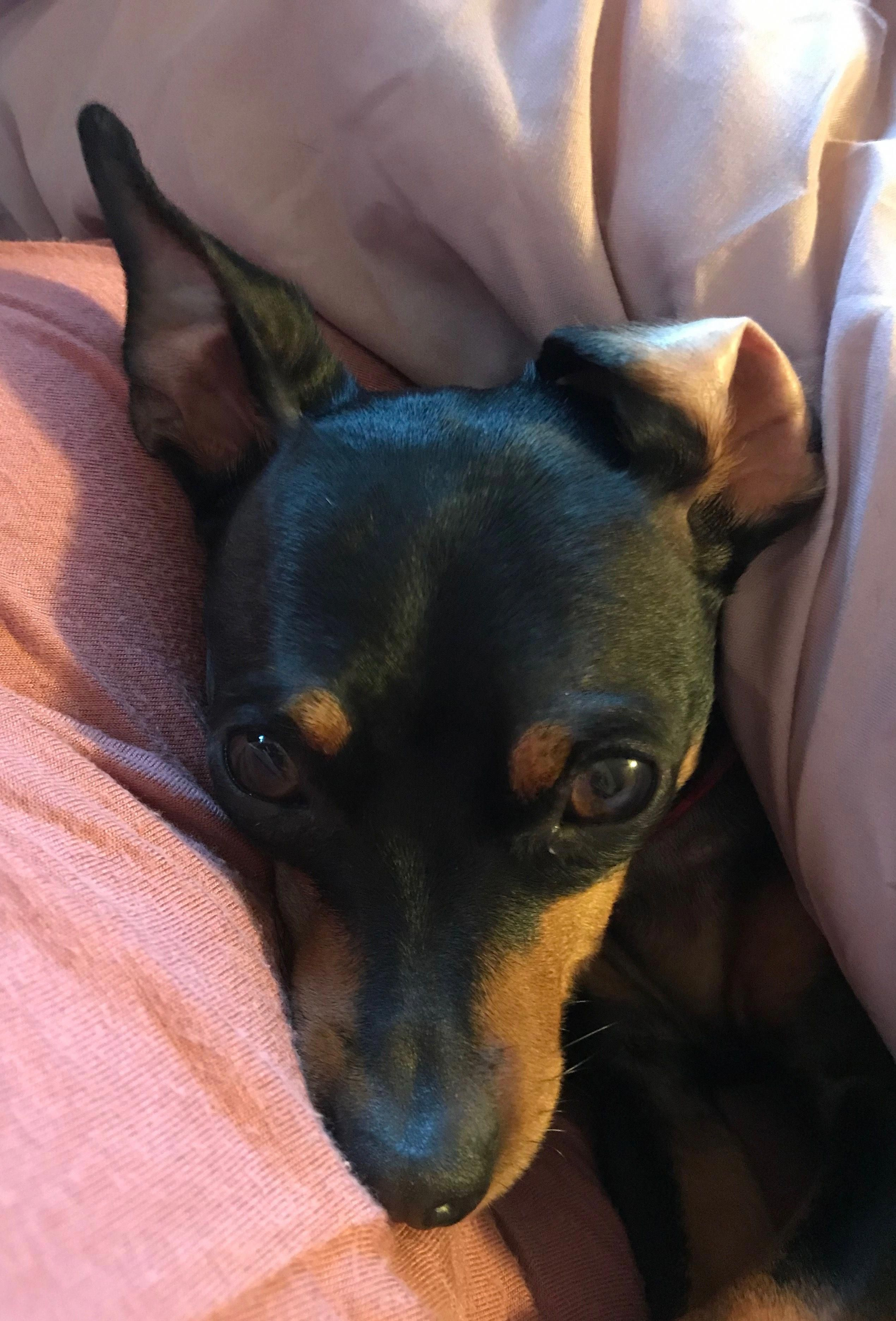 Fantastic Miniature Pinscher Info Is Available On Our Website