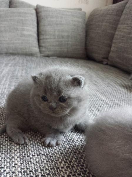 Reinrassige Bkh Katzchen Katzen Kaufen Bkh Katzen Susseste