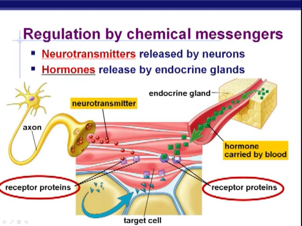 Regulation By Chemical Messengers Neurotransmitters And