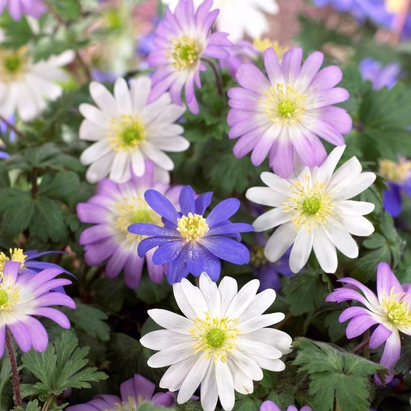 Blanda Anemone Flutter Mix Anemone Easy To Grow Bulbs Landscaping With Rocks