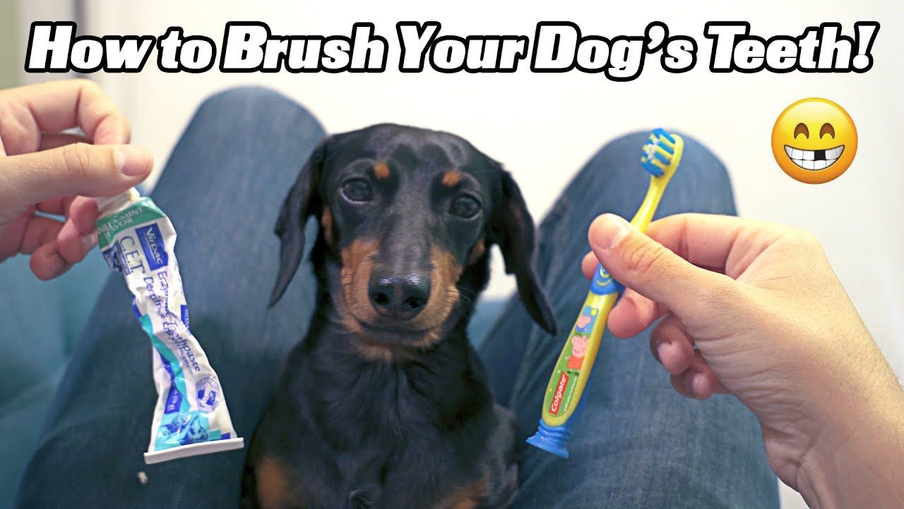 How To Brush Your Dog S Teeth With Crusoe The Dachshund Dog