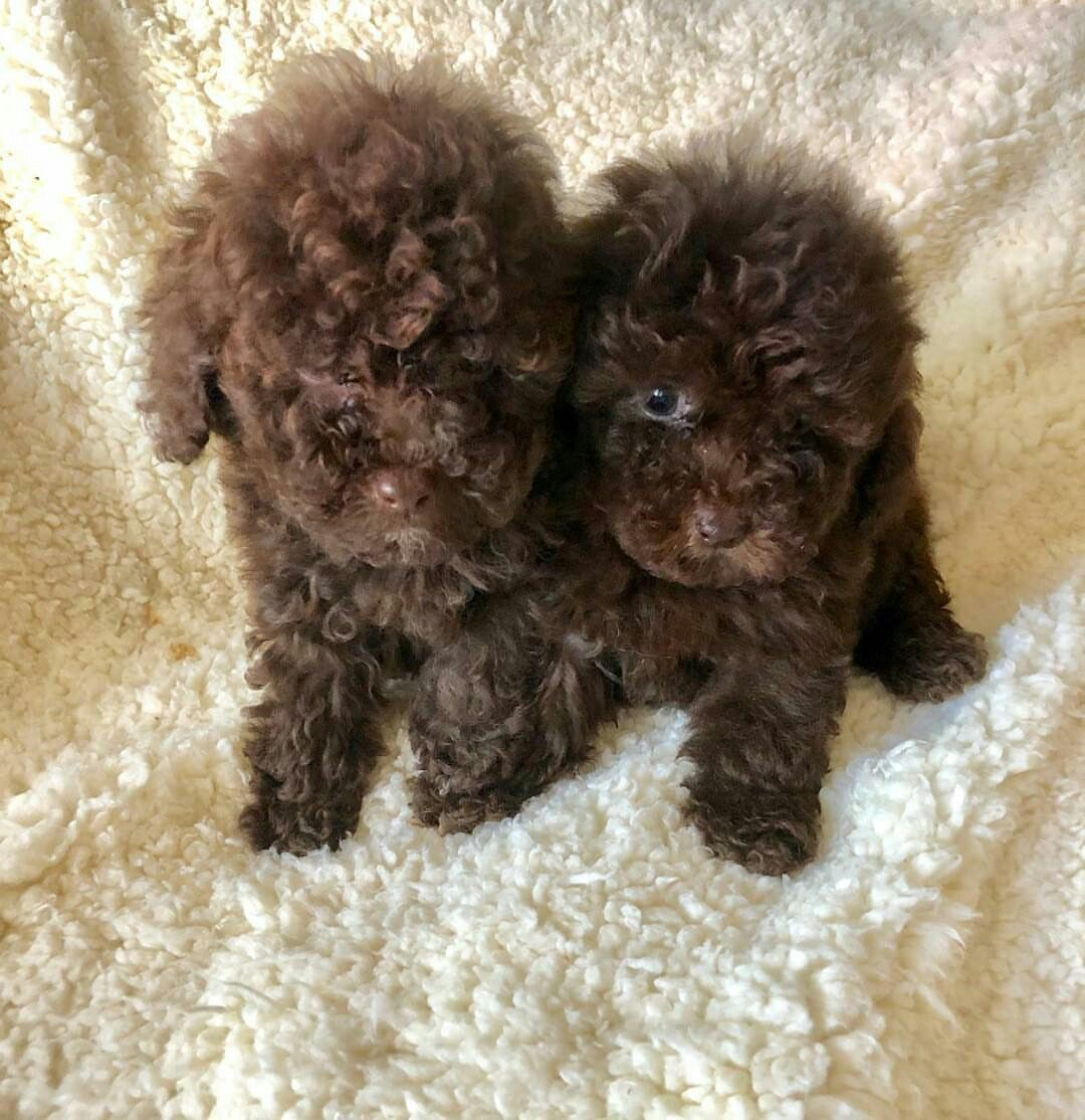 These Chocolate Poodle Puppies Now 12weeks Old Dm For Details And