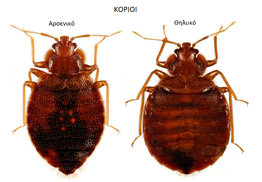 Pin by Trap on Κοριοί Bed bugs, Rid of bed bugs, Bugs