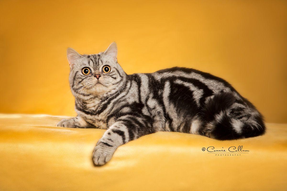 Silver Classic British Shorthair British shorthair, Cats