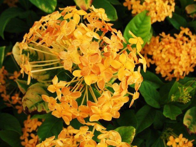 Yellow ixora yellow fleur martinique internet web for Fleurs internet