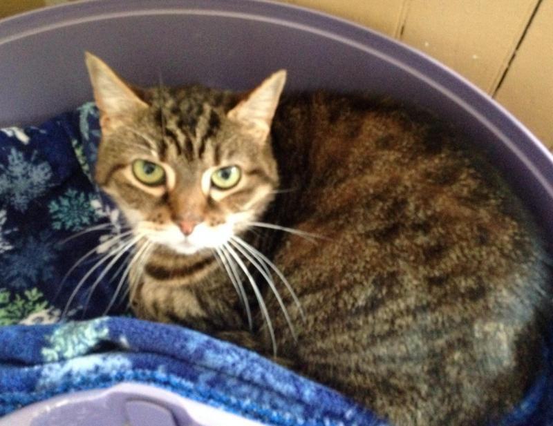 Adopt Odessa on Short hair cats, Pet care, Animals