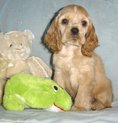 Castletop Cockers Reg New York Spaniel Puppies For Sale Cocker Spaniel Puppies Spaniel Puppies