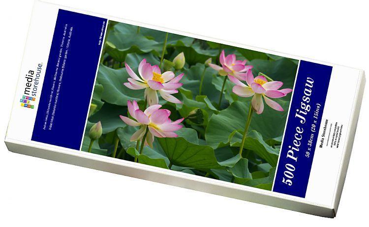 Print Of Indian Lotus Nelumbo Nucifera Flowers Melbourne