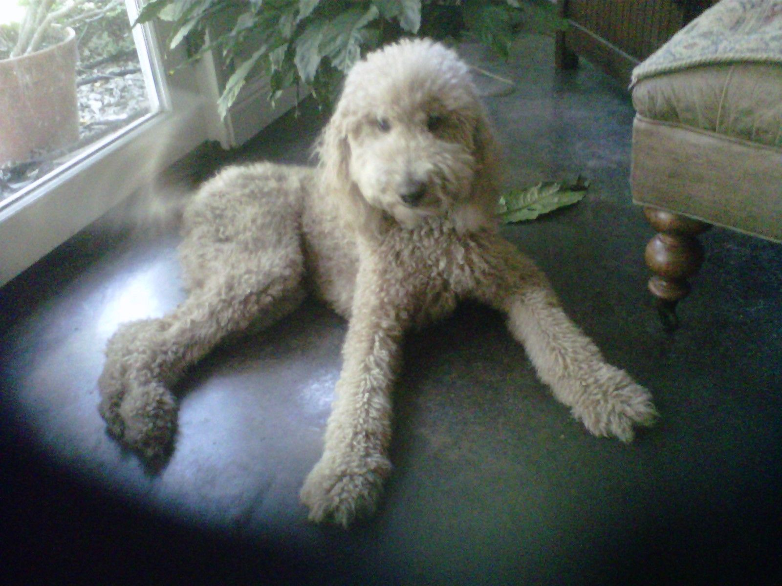 Standard poodle haircuts or of unless soft haircuts standard poodle - My Standard Poodle Dolly