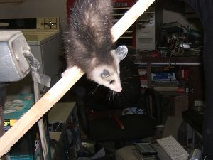 If Opossums Are In Your Attic Or Crawlspace Most Of The Sounds Will Be Occurring At Night Due To The Fact That Opossums Are Noct Animal Control Opossum Animals