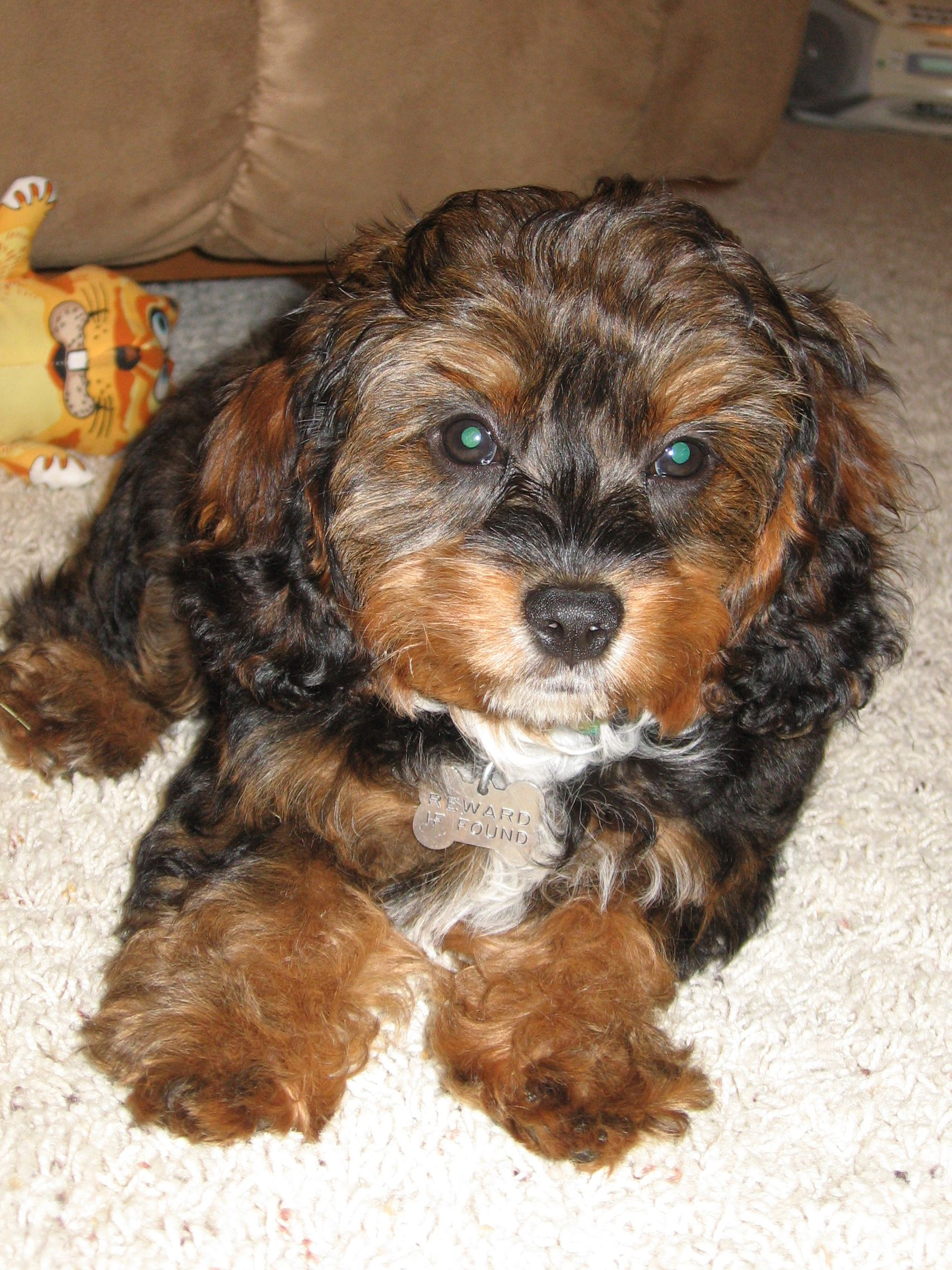 Another Cavapoo Adorable Poodle Mix Dogs Cavapoo Dog Allergies