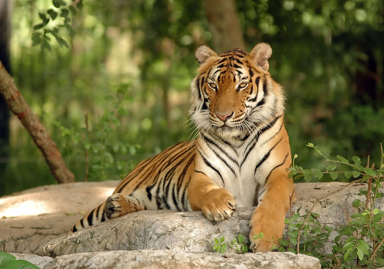 Bengal Tiger Tiger Animals Nature 5k Wallpaper Hdwallpaper Desktop Indochinese Tiger Tiger Images Tiger Facts