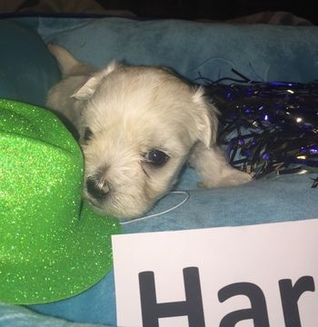 Litter Of 3 Maltese Puppies For Sale In Lexington Ky Adn 32020